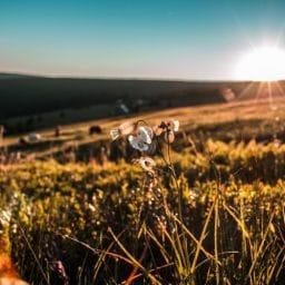 Sunset in a summer field.